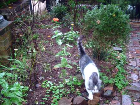 Chessie coming through a flower bed of zinnias