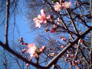 Peach Blossoms in the garden this spring.