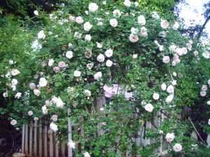 Bonica Rose Bush...we think
