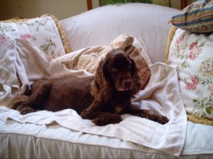 My beloved Sparky who died June 20, 2011.  An English Field Spaniel who was the best dog on Earth.