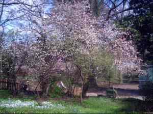 Crabapple/Peach Tree in back yard, Spring