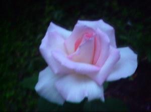 Rose from garden ....