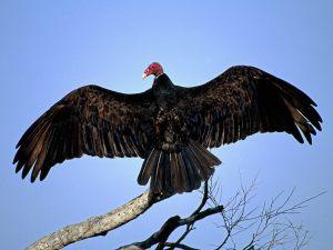 fed0b-turkey_vultureontree