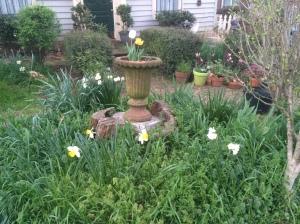 Daffodils 2015 spring