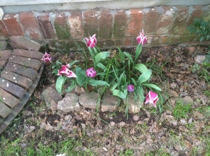 Tulips in Front Garden Spring 2015