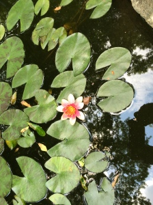 waterlily in our pond.