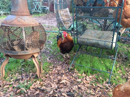 chickens, rooster, xmas 2015