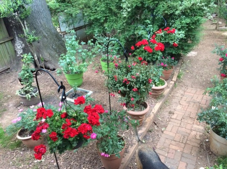 backyard with geraniums.JPG