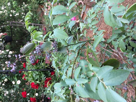 blueberry bush in rose garden.jpg