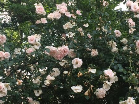 Roses, May 2