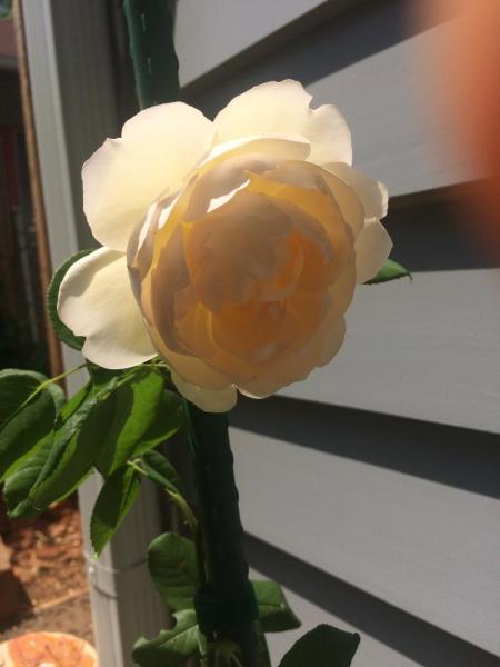 Roses, May 5