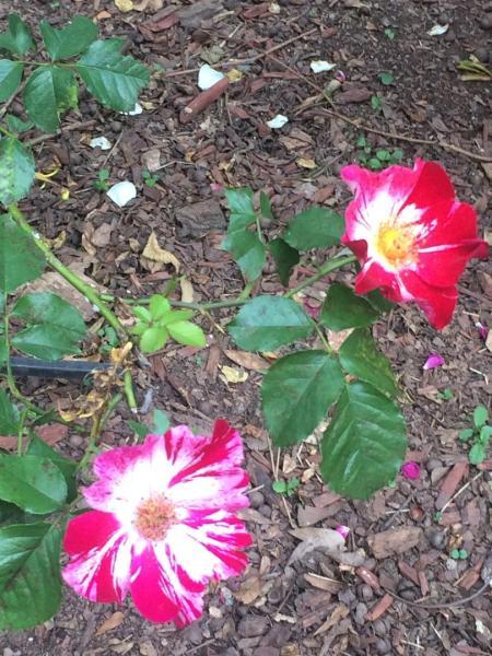 Roses, May