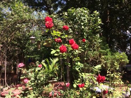 backyard with OLWeeks rose.jpg